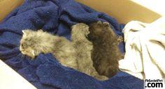 Tre gattini in ipotermia riportati in vita dopo 20 minuti di coccole | FbSocialPet.com A volte è proprio l'amore a ridare la vita! #Iloveanimals #Ilovepets #gatti #rescuedanimals #iostoconfbsocialpet #FbSocialPet Rimani aggiornato su FbSocialPet.com
