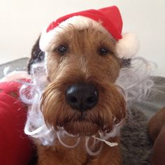 Irish Terrier at Christmas Christmas Pets, Christmas Animals, Irish Terrier, Scottish Terrier, Scottish Deerhound, Irish Wolfhound, Extended Family, Irish Setter, Pet Costumes