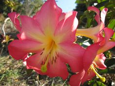 """Rhododendron """"Cara Mia"""", large scented flower"""