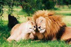 30 Big Cats Caught Being Adorable | Pleated-Jeans.com   Young Mufasa and Sarabi..... oh, like I wasn't going to make a Lion King reference..