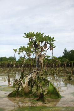 Mangrove | Snake Island, Puerto Princesa, Palawan