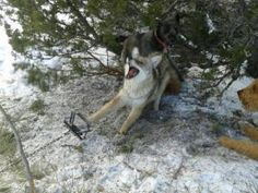 Coyote_in_trap_dogs_Jamie_P_Olson_WS2  Terminate Federal Employee Jamie Olson for Extreme Cruelty Against Animals (letter to send)