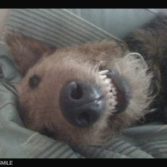 Must love Airedales - but ... WHO doesn't? :0)