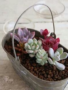 ABC of Succulents: March 2012 Source by rosademillus . Growing Succulents, Succulents In Containers, Cacti And Succulents, Container Plants, Planting Succulents, Cactus Plants, Container Gardening, Garden Plants, Planting Flowers