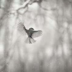 This is a very cool series. The shape and spread of the wings are beautiful. > No. 7 Tufted Titmouse (Gloria Wilson)
