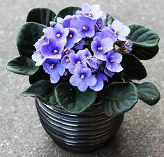 jonátka, africká fialka (Saintpaulia ionatha) Saintpaulia, Serbian Recipes, Houseplants, Flora, Gardening, Wicker, Plants, Violets, Balcony