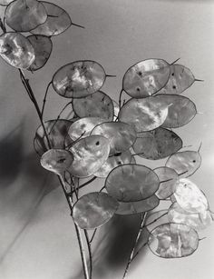 Imogen Cunningham's photograph of lunaria, one of my favorite things.