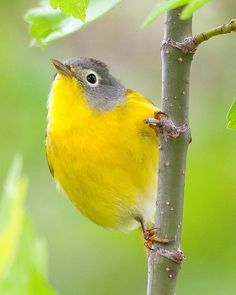 Nashville Warblers breed in open mixed woods and bog habitats in Canada and the northeastern and western United States. Although named after Nashville, Tennessee, the Nashville Warbler only visits that area during migration.