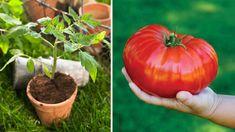 Ak si včas predpestujete sadenice, možno sa aj vám podarí dopestovať takéto gigantické plody s hmotnosťou neuveriteľných 1 300 gramov. Poradíme vám, ako na to. Garden Art, Pumpkin, Gardening, Terrarium, Gardens, Vegetable Recipes, Lawn And Garden, Apple, Terrariums
