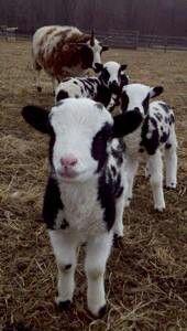 fuzzy little calves