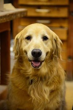 Check out the amazing Golden Retriever :D