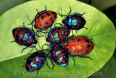 Cluster of Harlequin Bugs