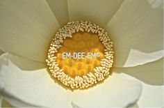 Australian Artist EM-DEE-EM Original Photograph ~ Digital Image ~ Lotus 3046-2