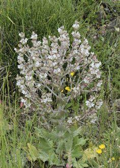 Salvia aethiopis 4
