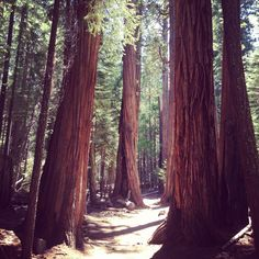 Everyone needs to experience the majestic Redwoods in Yosemite, California