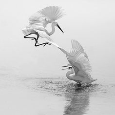This amazing capture by Jojithclicks Kanjany of little egrets (egretta garzetta) is one image that every wildlife photographer would like. #wildlife #nature #xposurexpf #fishing #photography #blackandwhitephotography