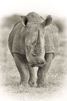 A White Rhinoceros or (Ceratotherium simum) on the open plains of Kruger National Park in South Africa. | ©Mario Moreno