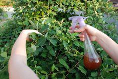 Чистотел избавит ваш огород и сад от плодожорки,тля,листовертки,трипсы, моли и многих других вредителей | Любимая Дача | Яндекс Дзен