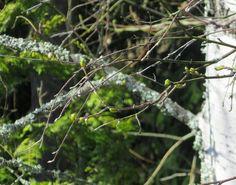 Kotikoivu hiirenkorvilla  #kevät #spring #seasonsoffinland #thisisfinland #ig_finland #luonto #nature #ignature #ig_nature #naturephotography #naturephotos #koivu #birch #lifestyleblogger #nelkytplusblogit #åblogit