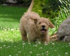 Goldendoodle Puppy Running