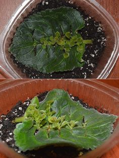 Houseplants for Better Sleep Best 11 Succulents Garden, Garden Plants, Indoor Plants, Planting Flowers, Inside Plants, Cool Plants, Growing Peas, Plant Cuttings, Propagation