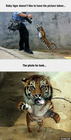 Little tiger doesn't like to be photographed! - 9GAG