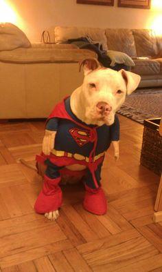 Superman Pittie