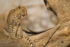 Passage To Africa - South Luangwa - Zambia #leopard