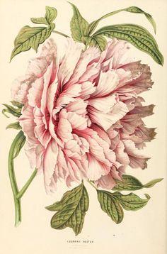 4 - Annales d'horticulture et de botanique, ou Flore des jardins du royaume des Pays-Bas, | Peony (gorgeous!):