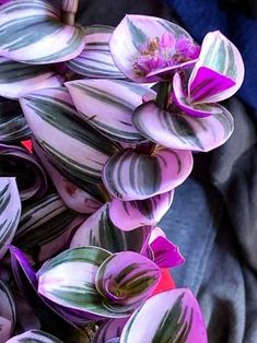 Tradescantias are beautiful ornamental plants belonging to the family of Commelinaceae. They are perennial and evergreen herbaceous plants native to the South American continent. They are commonly known by Spiderwort plants but also Wandering Jew Plants and refers to several varieties of vining plants.