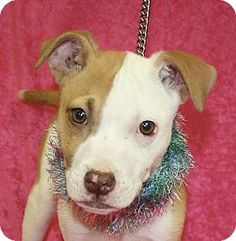 Jackson, MI - Pit Bull Terrier Mix. Meet Danica, a puppy for adoption. http://www.adoptapet.com/pet/15127534-jackson-michigan-pit-bull-terrier-mix