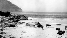 Cattle on Flora Bay Beach, Hout Bay 1900 Places Of Interest, Old City, Old Pictures, Cape Town, Live, Cattle, South Africa, Flora, Landscape