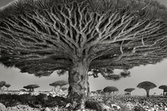 'Portraits of Time', Gorgeous Black-and-White Portraits of Ancient Trees From Around the World