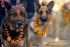"""Le festival """"Kukur Tihar"""" (ou """"Kukur Puja"""") est célébré durant la période Diwali au Népal et  est un festival """"de lumière et de couleurs"""" et son but est simple : remercier les chiens de leur amitié et leur loyauté."""