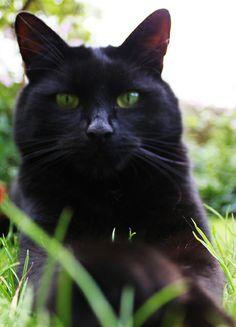 Black cat Bellissimo