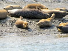Harbor Seals on Elkhorn Slough in Moss Landing