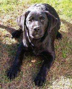 Grandvista Labrador Retrievers
