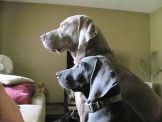 The Regal Weimeraner- My babies Diesel and Indigo (Indy)