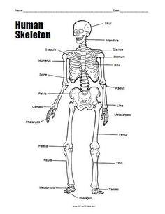 Free Printable Human Skeleton Worksheet | All Free Printable ...