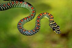 serpiente-voladora1