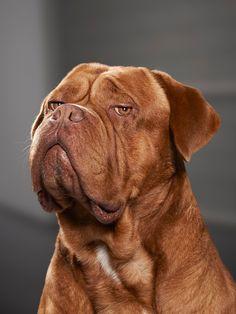 More About The Courageous Mastiff Puppies French Mastiff Dog, Bull Mastiff Dogs, Mastiff Breeds, Mastiff Puppies, English Mastiff, Chihuahua Puppies, Neopolitan Mastiff, Pet Dogs, Dog Cat