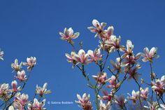 Frühlingsblüher # Magnolien # Farbenreich
