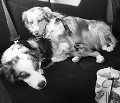 When you hop into the car after a nice hike and promptly fall asleep like this  #love #siblings #cute #cuddles #dogsofinstagram #dogsonadventures #hikingwithdogs #australianshepherd #aussiefeaturing #aussienation #aussie_world #puppy #miniaussie #miniaussiesofinstagram #miniaustralianshepherd #tired #sleepy #alltuckeredout #naptime #pupstastic #pupstagram #lacyandpaws #poochpal #woof by addie.and.cooper