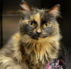 Name: ZuZu Belle Age: 1 1/2 years Breed: DLH - Torti How I Arrived At NHS: I was found as a stray and my finders took care of me until I was able to come to Northwoods to find my forever home. Note From Zsu Zsu Belle: I am a petite little kitty with a lot of love to give. I am hoping for a family for the holidays, and I am looking for a place that will allow me to live in luxury-cozy bed, good food, lots of toys.