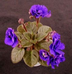 "Rob's Voodoo Blue- Excellent little plant.  Dbl. deep blue stars over dark, quilted, serrated, miniature foliage.  Tiny little 3"" plant and good little bloomer..."