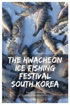 Hwacheong Ice Fishing Festival in South Korea is one of the '7 wonders of winter' announced by CNN. Every year in January thousands of people flock to the festival ground and group onto a frozen river in the hope of catching some mountain trout!