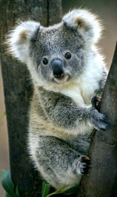 Weve gathered our favorite ideas for Koala Bear Koalas Cute Animals Animals Beautiful Animals, Expl Cute Little Animals, Cute Funny Animals, Funny Koala, Australian Animals, Tier Fotos, Cute Animal Pictures, Cute Creatures, Pet Birds, Animals Beautiful