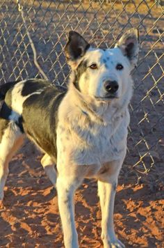 KADE!! <3 <3 <3 Cattle Dog X • Adult • Male • Med. Page Animal Adoption Agency, AZ. For detailed info on Kade, please call 928-640-1500 & ask for Natalie! House trained • Neutered • Current vaccs.