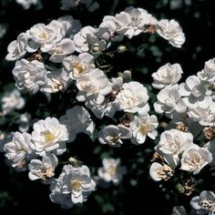 Sanders' White Rambling Rose