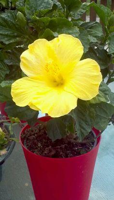 My yellow hibcus